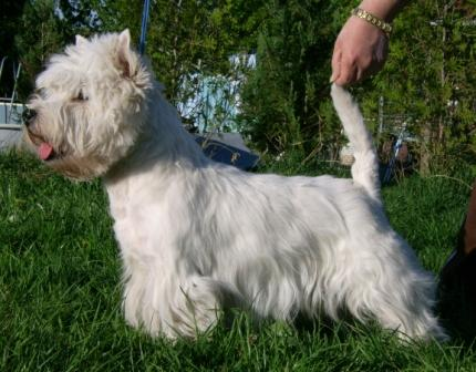 West Highland White Terrier von den kleinenKobolden